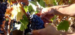 Recolectando uva